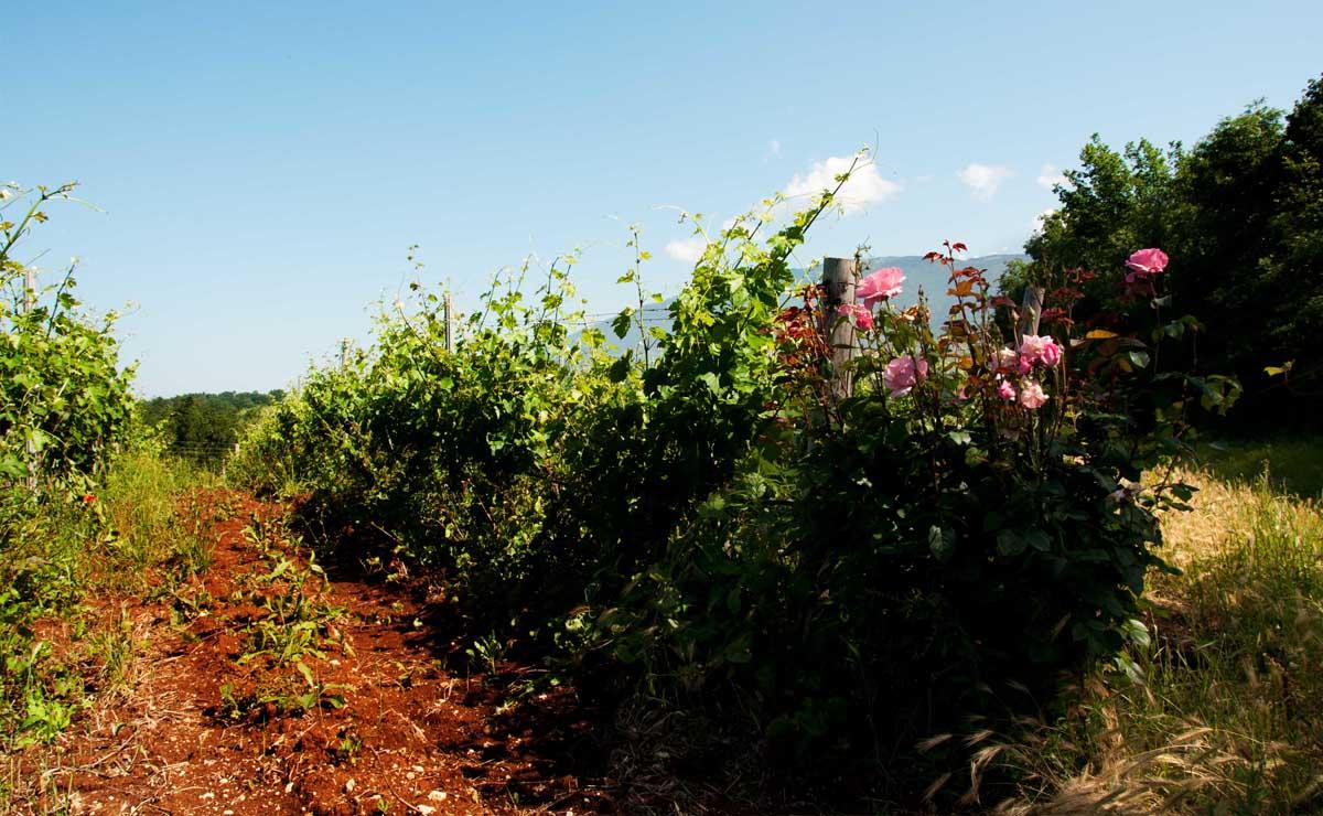 vigneti marcella giuliani agricola rose